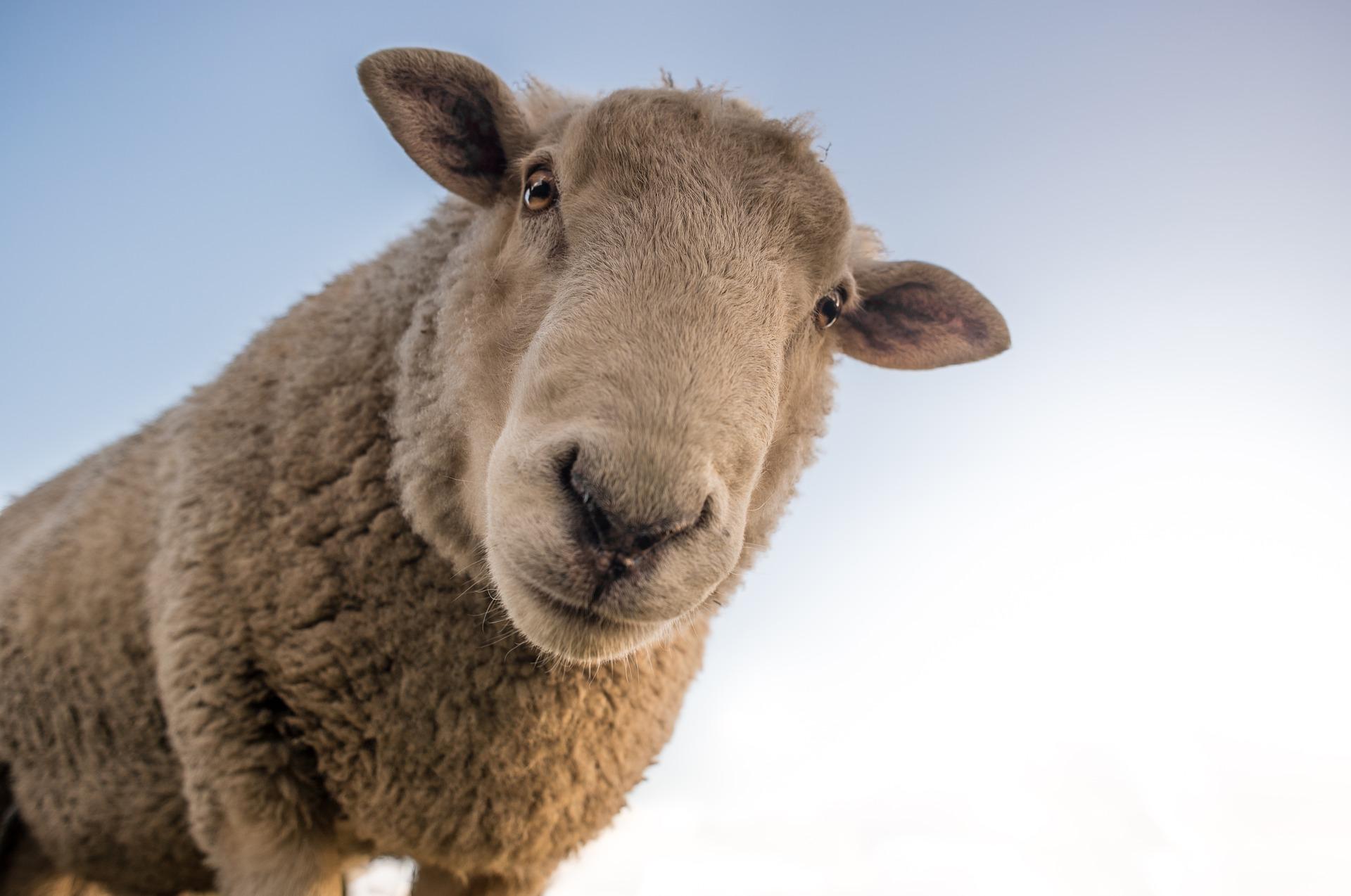 Får får får?